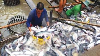 Đầu năm 2021, giá cá tra nguyên liệu ổn định trở lại