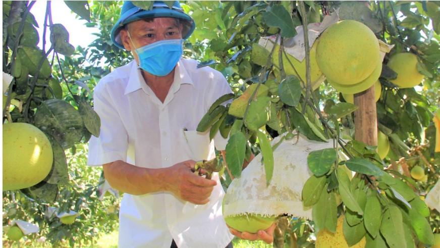 Hà Tĩnh: Gần 15 nghìn tấn bưởi Phúc Trạch đã được tiêu thụ
