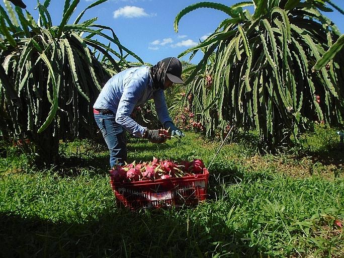 Bình Thuận Phê duyệt chương trình sản xuất thanh long theo tiêu chuẩn VietGAP năm 2021 trên địa bàn tỉnh