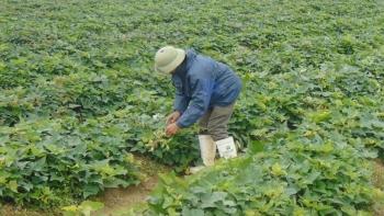Quảng Ninh: Chủ động triển khai sản xuất vụ Đông năm 2020