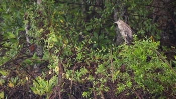 Phục hồi 150ha rừng ngập mặn tại Vườn Quốc gia Mũi Cà Mau