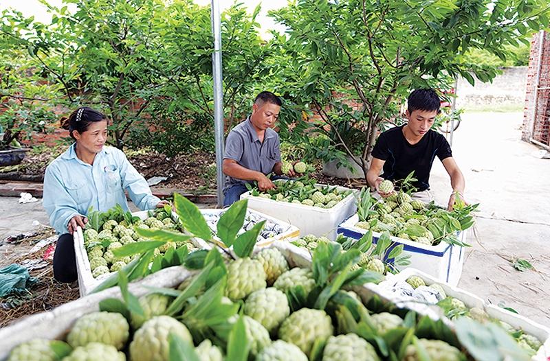 Đặc sản Na dai Đông Triều trái vụ, thơm ngon, hút hàng Na dai trái vụ được sản xuất theo hướng Vietgap