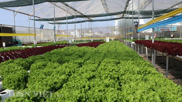Hiện trong vườn của anh Đức chủ yếu trồng các loại rau xà lách, cải thìa, cải ngọt Nhật.