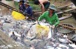 Kết nối thị trường nội địa, giảm tải áp lực xuất khẩu ngành cá tra