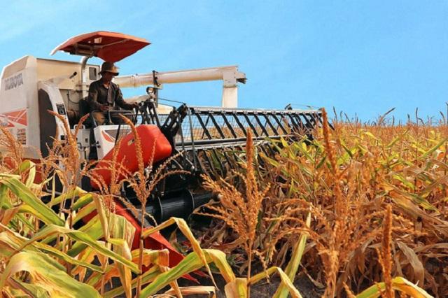 Ngô từ Argentina nhập khẩu về Việt Nam chiếm trên 70% kim ngạch